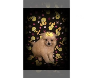 American Eskimo Dog Dog for Adoption in CLARKSVILLE, Tennessee USA