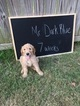Goldendoodle Puppy For Sale in ARLINGTON, TN, USA
