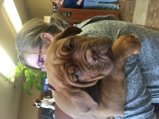 Dogue de Bordeaux Puppy For Sale in SAGE, AR, USA