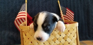 Australian Shepherd Puppy For Sale in WESTMINSTER, MD, USA