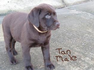 Labrador Retriever Puppy For Sale in CALERA, OK, USA