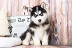 Siberian Husky Puppy For Sale in BEL AIR, Maryland,