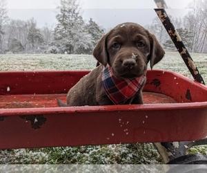 Labrador Retriever Puppy for sale in OZARK, MO, USA