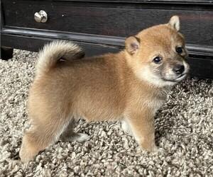 Shiba Inu Puppy for sale in SNOHOMISH, WA, USA