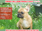 French Bulldog Puppy For Sale in WEST PALM BEACH, FL,