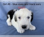 Small #8 Old English Sheepdog