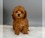 Puppy 2 Poodle (Miniature)