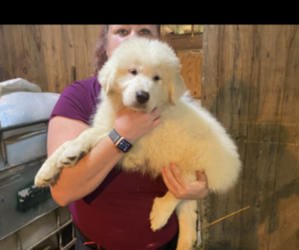 Great Pyrenees Puppy for sale in COATESVILLE, PA, USA