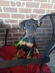 Doberman Pinscher Puppy For Sale in FORT STEWART, GA, USA