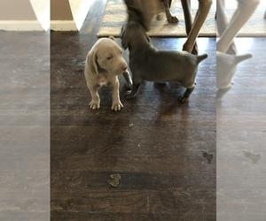 Weimaraner Puppy for sale in AURORA, CO, USA