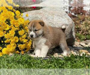 Shiba Inu Puppy for Sale in NAPPANEE, Indiana USA