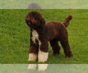 Lagotto Romagnolo Dog for Adoption in Horodok, Khmelnytskyi Ukraine