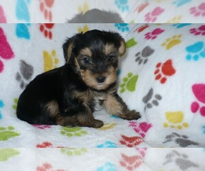 Yorkshire Terrier Dog for Adoption in ORO VALLEY, Arizona USA