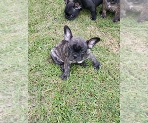 French Bulldog Puppies for Sale near Coppell, Texas, USA
