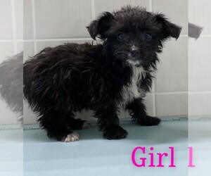 Poodle (Toy)-Yorkshire Terrier Mix Puppy for sale in CLARE, IL, USA