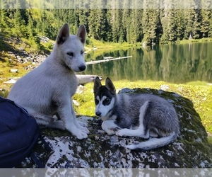 Siberian Husky Puppy for Sale in EVERETT, Washington USA