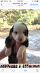 Miniature Australian Shepherd Puppy For Sale in ARCHER, FL, USA