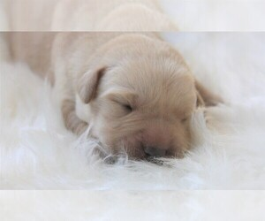 Labrador Retriever Puppy for sale in SYRACUSE, IN, USA