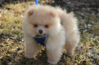 View Ad Pomeranian Puppy For Sale Near Michigan Auburn Hills Usa