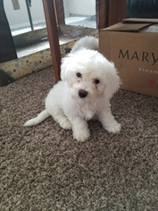 Bichon Frise Puppy For Sale in KENT, WA, USA