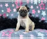 Small #5 Pug