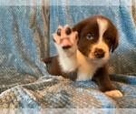 Puppy 5 Sheprador