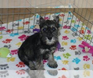 Schnauzer (Miniature) Puppy for sale in ORO VALLEY, AZ, USA