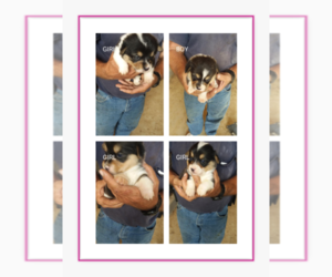 Pembroke Welsh Corgi Puppy for sale in CUSTER, KY, USA