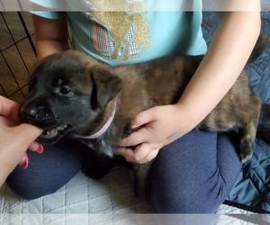Malinois Dog for Adoption in CAMAS, Washington USA