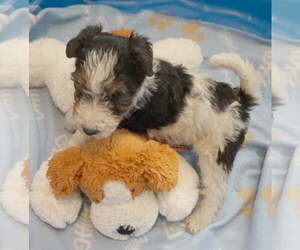Wire Fox Terrier Puppy for sale in Simcoe, Ontario, Canada