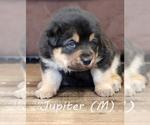 Puppy 4 Anatolian Shepherd-Great Pyrenees Mix