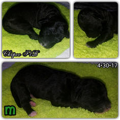 Wapoo Puppy For Sale in CELINA, TX