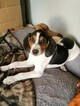 Treeing Walker Coonhound Dog For Adoption in AUSTIN, TX, USA