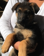 German Shepherd Dog Puppy For Sale in CARTERSVILLE, GA, USA