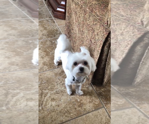 Maltese Puppy for sale in CLINTON, MD, USA