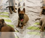 Belgian Malinois Puppy For Sale in BRYCEVILLE, FL, USA