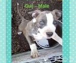 Puppy 6 American Staffordshire Terrier
