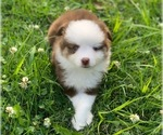 Miniature Australian Shepherd Puppy For Sale in MANSFIELD, PA, USA