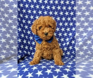Cockapoo-Poodle (Miniature) Mix Puppy for sale in PEACH BOTTOM, PA, USA