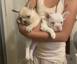 French Bulldog Puppy for Sale in LEAWOOD, Kansas USA