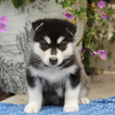 Alaskan Malamute Puppy For Sale in GAP, PA, USA