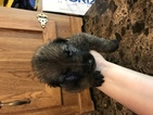 German Shepherd Dog Puppy For Sale in ALBUQUERQUE, NM