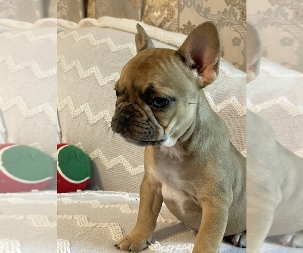 Medium Photo #7 French Bulldog Puppy For Sale in JACKSONVILLE, FL, USA