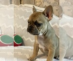 Small Photo #7 French Bulldog Puppy For Sale in JACKSONVILLE, FL, USA