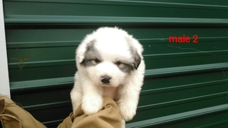 Great Pyrenees Puppy For Sale in POWHATAN, VA