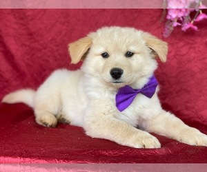 Golden Labrador Puppy for sale in LANCASTER, PA, USA