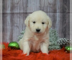 English Cream Golden Retriever Puppy for sale in FREDERICKSBG, OH, USA