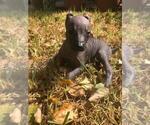 Small #17 Xoloitzcuintli (Mexican Hairless)