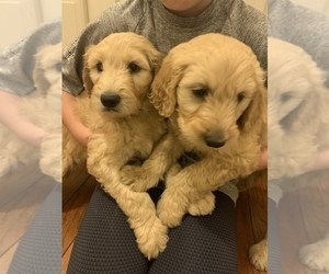 Goldendoodle Puppy for sale in TUPELO, MS, USA