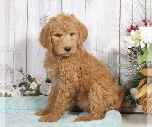 Goldendoodle Dog for Adoption in PENNS CREEK, Pennsylvania USA